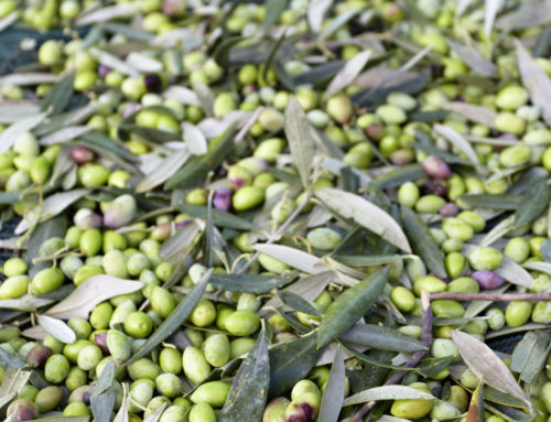 Why Harvesting Olives by Hand Matters